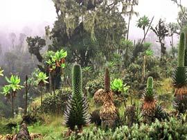 ruwenzori plante